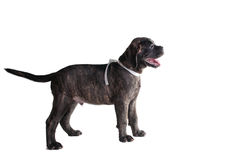Puppy portrait Stock Photography