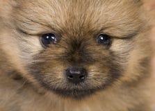 Puppy portrait. Pomeranian spitz puppy close up portrait Stock Photography