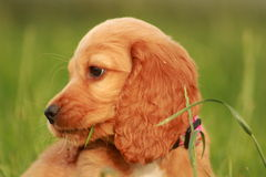 Puppy portrait. Soft Portrait of puppy, playing in grass Royalty Free Stock Photo