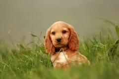 Puppy portrait. Portrait of cocker spaniel puppy sitting in grass Stock Photos