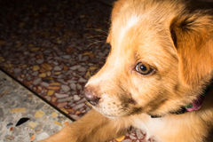 Puppy portrait close-up cute dog dozing on floor Royalty Free Stock Image
