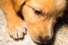 Puppy portrait close-up cute dog dozing on floor Royalty Free Stock Photo