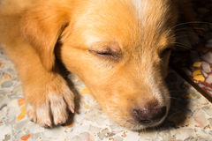 Puppy portrait close-up cute dog dozing on floor Royalty Free Stock Images