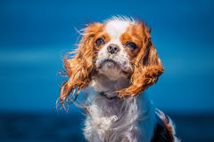 Puppy portrait at dusk. Cute puppy portrait at dusk sitting in the strong wind Stock Photos