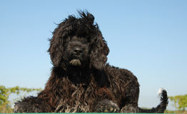 Puppy portuguese water dog stock photos
