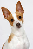 Puppy Poser. A rat terrier tilting his head to the side and posing for the camera royalty free stock photo