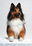 Puppy Posing. Portrait of a collie breed isolated on a white background. Taken in studio royalty free stock photos