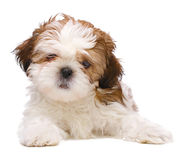 Puppy posing Royalty Free Stock Image