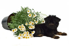 Puppy with a pot with Daisies on the floor Royalty Free Stock Image