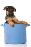 Puppy in a pot Royalty Free Stock Photo