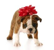 Puppy for present Stock Images
