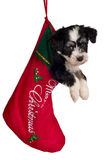 Puppy for present. Royalty Free Stock Image