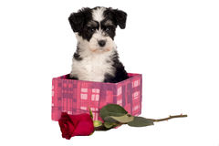Puppy for present. Royalty Free Stock Photos