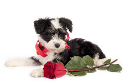 Puppy for present. Stock Image