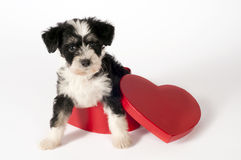 Puppy for present. Stock Images