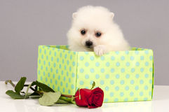 Puppy for present. Royalty Free Stock Photography