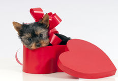 Puppy for present Royalty Free Stock Image