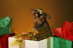 Puppy present Royalty Free Stock Photo