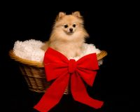 Puppy Present. Beautiful Pomeranian puppy in a lined basket with a bright red bow Royalty Free Stock Images