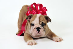 Puppy for present. Royalty Free Stock Photo