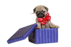 Puppy present. Royalty Free Stock Image