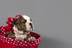 Puppy for present Royalty Free Stock Photos
