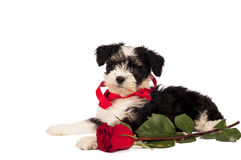Puppy for present. Royalty Free Stock Images