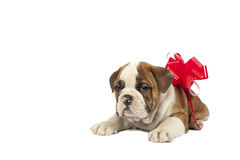 Puppy present. Royalty Free Stock Photography