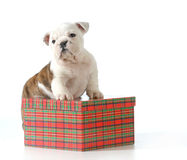 Puppy present Stock Photo