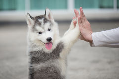 Puppy pressing his paw against a Girl hand Royalty Free Stock Images