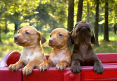 Puppy Pride. Trio of pups are trapped in a red wagon.  One black and two blonde.  Woods asre in background Stock Photos