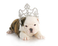 Puppy princess Royalty Free Stock Photography