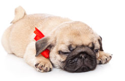Puppy of pug Royalty Free Stock Photography