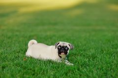 Puppy pug Royalty Free Stock Image