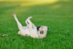 Puppy pug Stock Photography