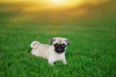Puppy Pug Stock Image