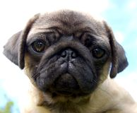 The Puppy pug Royalty Free Stock Photography
