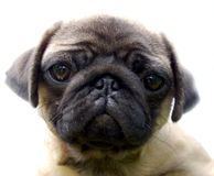 The Puppy pug Stock Photos