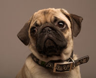 Puppy pug Stock Image