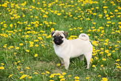 Puppy of the pug. Charming puppy of the pug rests on field with dandelion Royalty Free Stock Photo