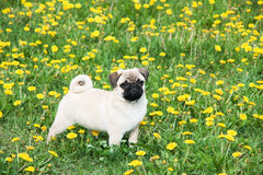 Puppy of the pug Royalty Free Stock Images