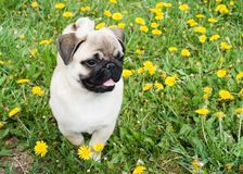 Puppy of the pug Royalty Free Stock Image