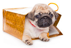 Puppy of pug in bags Royalty Free Stock Photography