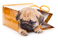Puppy of pug in bags Stock Images