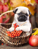 puppy pug in basket Stock Photos