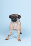 Puppy pug on blue background Royalty Free Stock Image