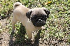 Puppy pug Stock Photo