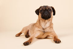 Puppy pug on cream background Royalty Free Stock Photo