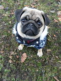 Puppy pug in cute winter outfit Royalty Free Stock Images