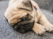 Puppy pug dog. A puppy pug dog lay down on a chair Royalty Free Stock Images